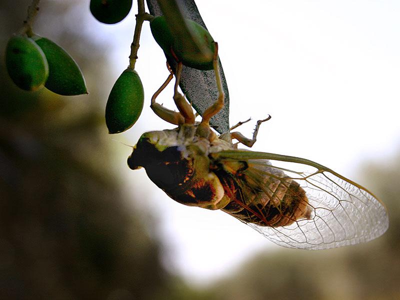 zikaden strindulation laute trommelorgan insekten