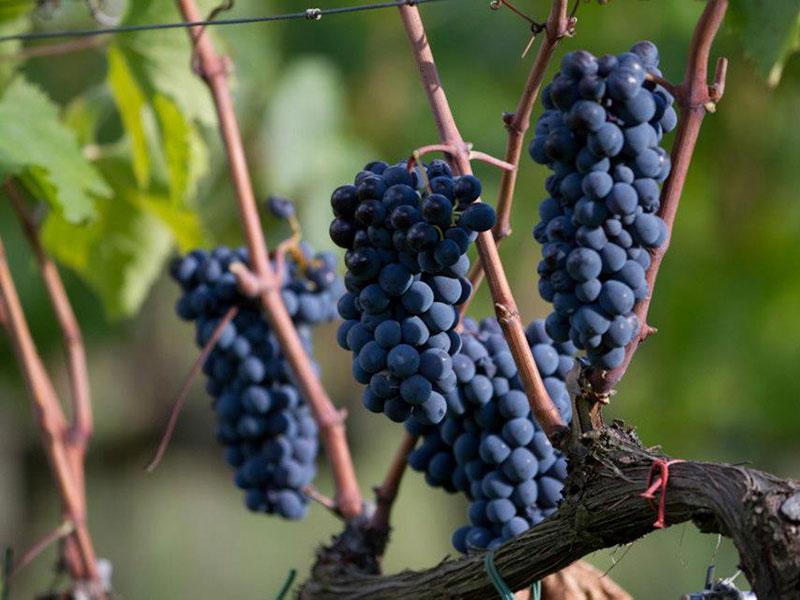 Die Trauben der Sangiovese-Traube sind reif für die Weinlese.
