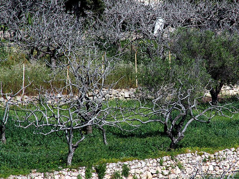 Pistazien aus Ägina sind eine geschützte Herkunftsbezeichnung und sehr begehrt.