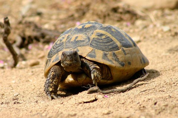 Die Griechische Landschildkröte wird etwa 20 Zentimeter lang.