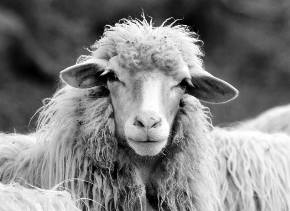 Italien: Schaf