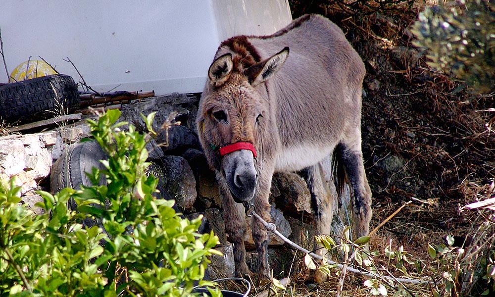 Der gute brave Esel, auch ein Hausbewohner.
