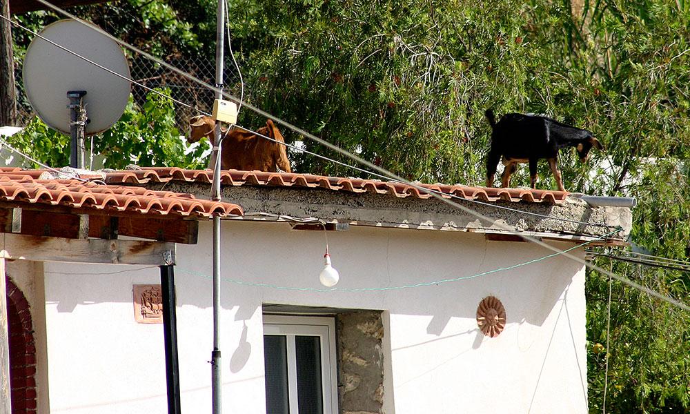 Ziegenalarm auf Nachbarsdach!