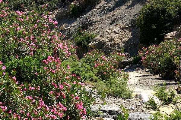 Der Pfad neben dem Flussbett wird von prächtigen Oleanderbüschen eingesäumt.