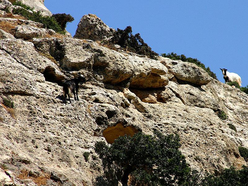 Ziegenherde sind überall auf Kreta anzutreffen.