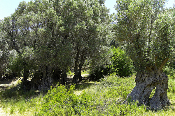 Oliven in saftigem Grün.