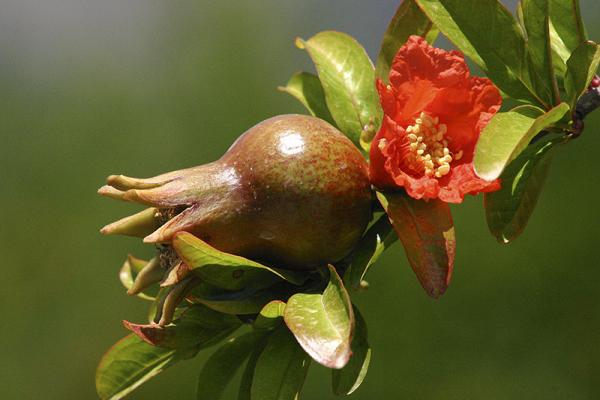 Granatapfelblüte.