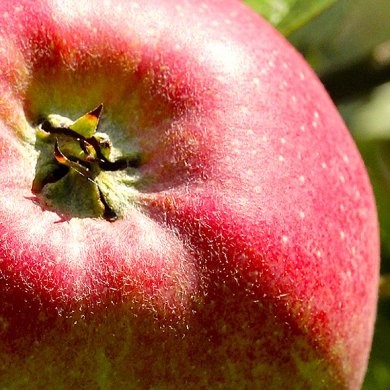 Apfel.