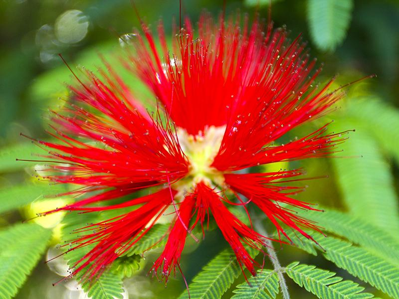 Der Puderquastenstrauch ist eine tropische Pflanze.