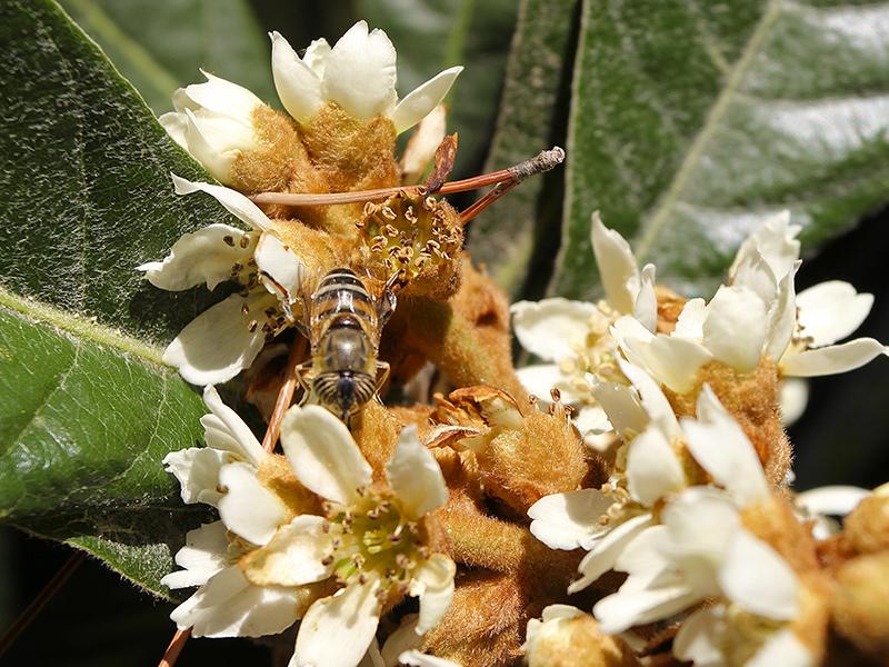 Der Bienenbaum, oder Honigesche, lockt noch im November die fleißigen Insekten an.