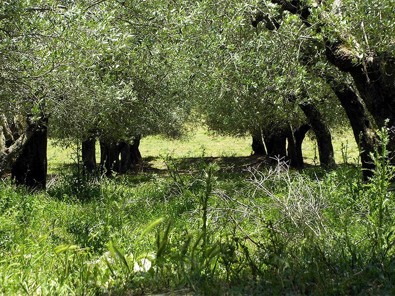 Blick in den Olivenhain unterhalb des Hauses.