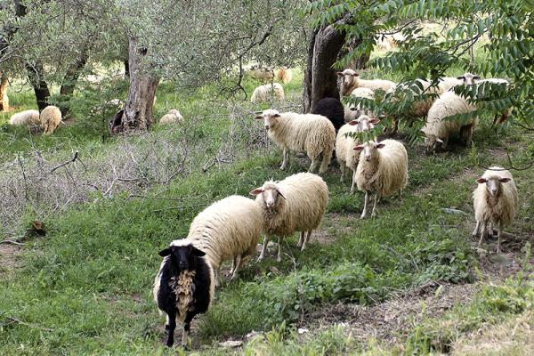 An unserem Ankunftstag waren die Schafe zunächst neugierig.