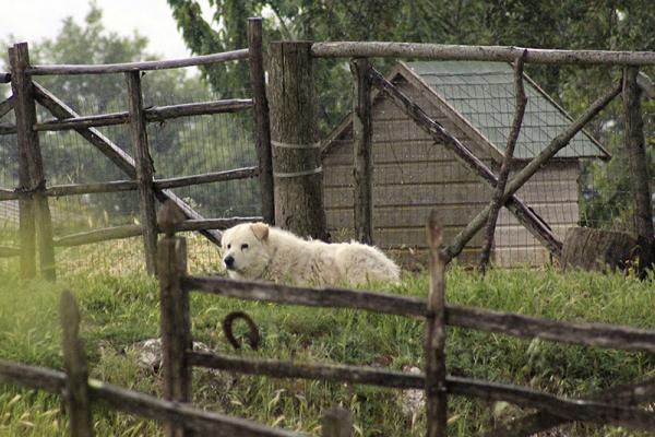 Die Maremmano-Hunde sind gute Wachhunde.