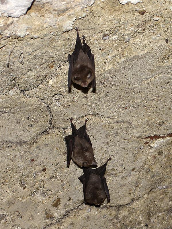 Eine Fledermauskolonie bewohnt den Keller.