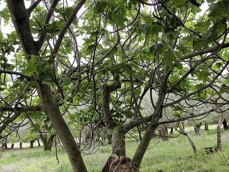 Das Ziel des niedlichen Nagers: Der Feigenbaum.