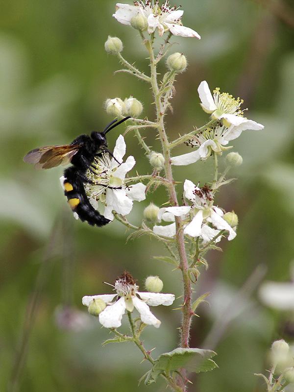 Eifrige Insekten sammeln Nektar.