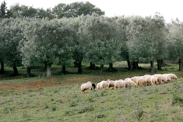 Die Weide der Schafe ist etwa acht Fußballfelder groß.