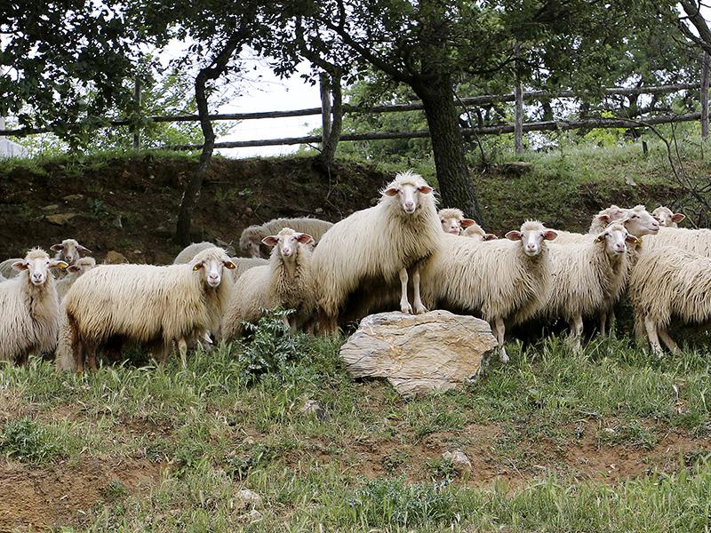 Das Leittier stellt sich vor die Herde.