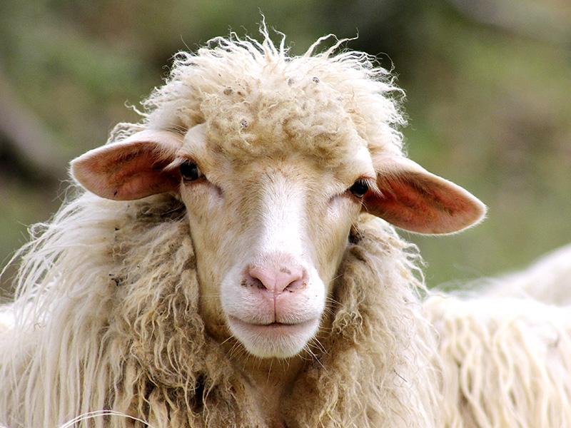Schafs-Portrait.
