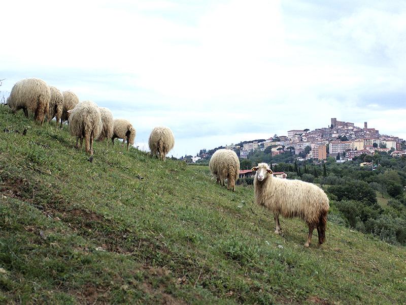 Die Herde guckt beim Küchenfenster herein. Im Hintergrund Manciano.