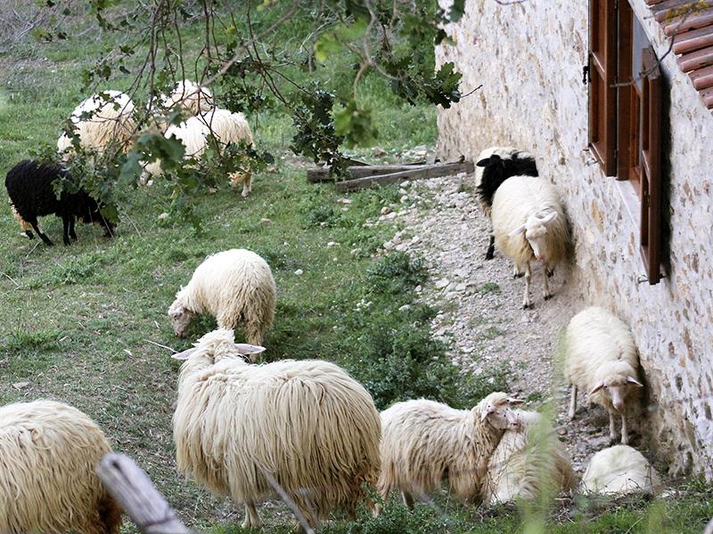 Nach wenigen Tagen hatten die Schafe alle Furcht verloren.