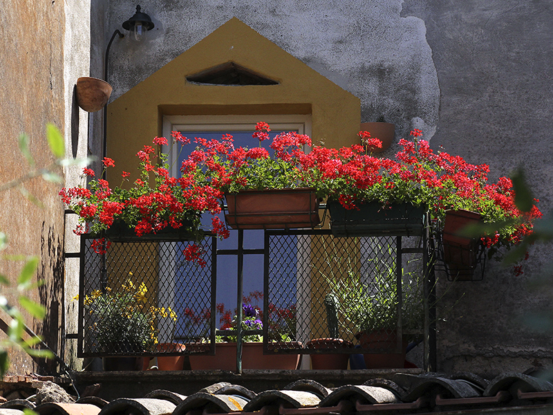 Geranienpracht auf einem Balkon.