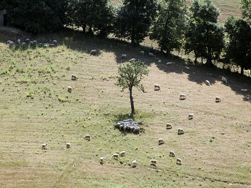 Die Schafherde vom Nachbarhof.