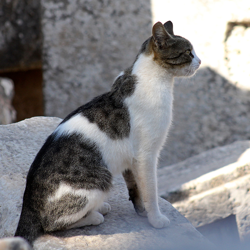 Stolz und wachsam - die Straßenkatzen Roms.