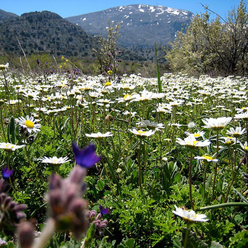 Blumenpracht auf der Katharo-Hochebene, oberhalb des Dorfs Kritsa. Im Hintergrund die Gipfel des Dikti-Gebirges. (Geoffclegg, flickr)