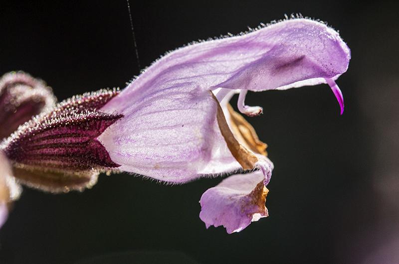 Violette Salbeiblüte - oder doch ein Riesenmaul mit einem Zahn?