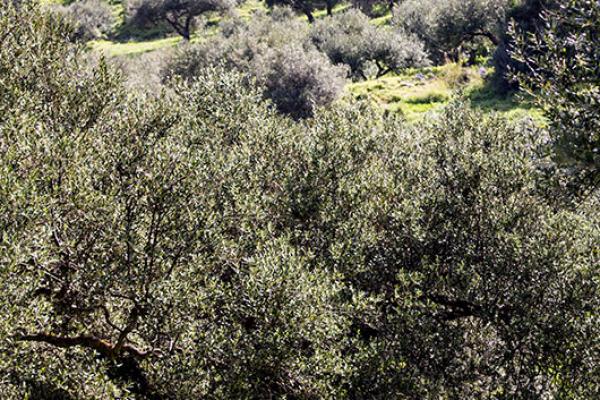 Viel Fleiß steckt in den gepflegten Terrassen der Olivengärten.