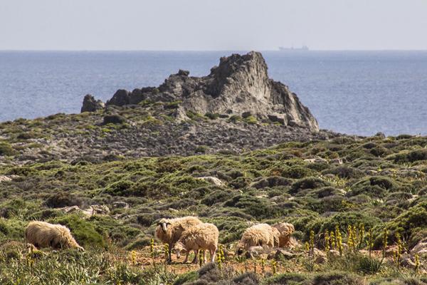Die Schafe haben keinen Blick für die schöne Landschaft. Im Hintergrund ein Tanker - vielleicht kommt er aus Libyen?