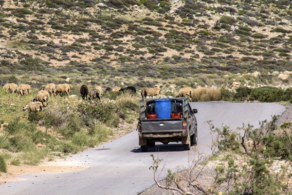 """Das Leben der kretischen Bauern nimmt seinen traditionellen Gang. Ein bisschen Moderne gibt es - die Tiere werden mit den Pickup """"gehütet""""."""