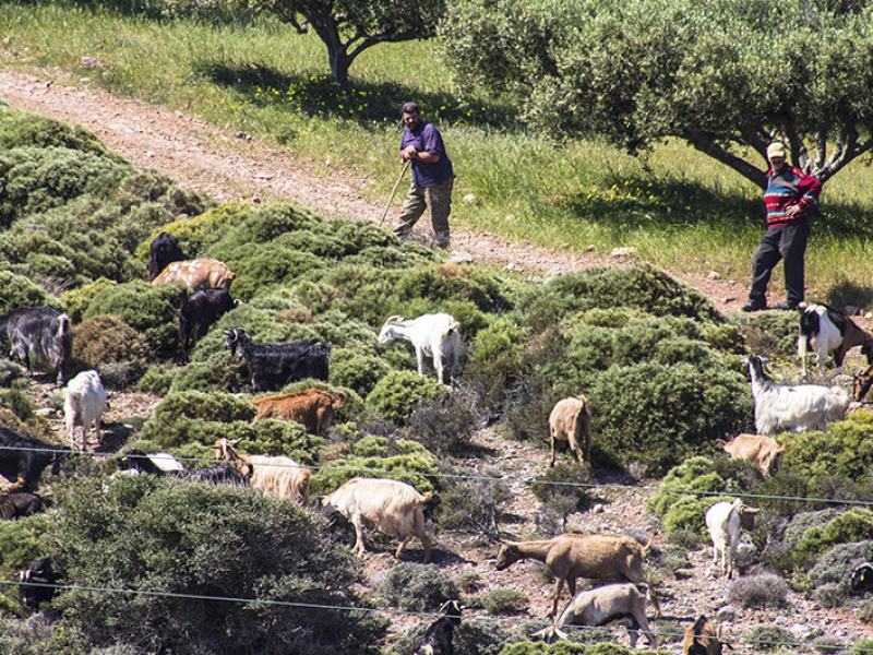 Zwei Hirten und ihre Ziegenherde, nahe vom Dorf Azokeramos.