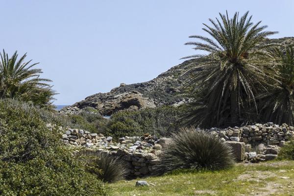 Diese Palmenart ist auf Kreta heimisch, schon die Minoer haben sie auf ihren Fresken abgebildet.
