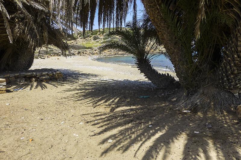 Die Kretische Dattelpalme wächst an Stränden in nur wenigen Metern Entfernung zum Meer. Das Vorkommen der salztoleranten Palmen zeigt stets ein Wasservorkommen an.