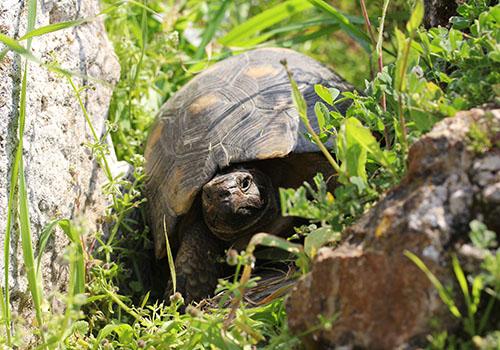 Im Gelände der Hadriansbibliothek können ganze Familienclans von Landschildkröten beobachtet werden.