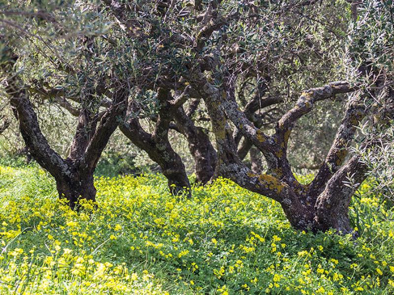 Olivenhain mit gelben Sauerklee, der Himmel für Schafe und Ziegen.