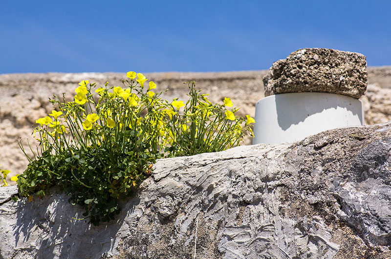 """Der gelbe Klee mit dem hübschen Namen """"Nickernder Sauerklee"""" (Oxalis pes-caprae) bevölkert nicht nur Wiesen sondern auch Hausdächer."""
