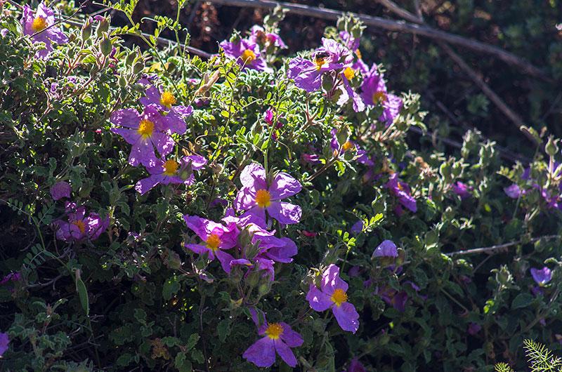 Die kretische Zistrose (Cistus creticus) ist ein Zwergstrauch der von Dezember bis Juni blüht.