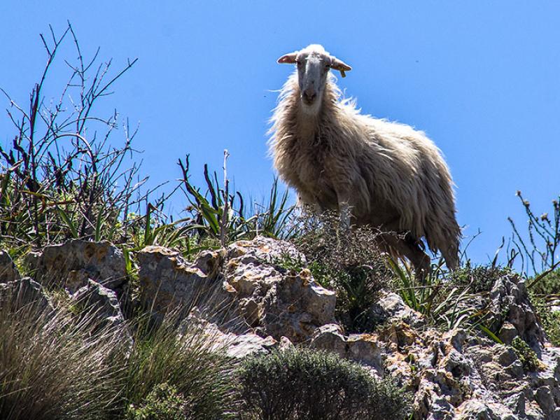 Wir überraschen eine kleine Schafherde. Ein neugierer Wächter dreht sich noch einmal um.