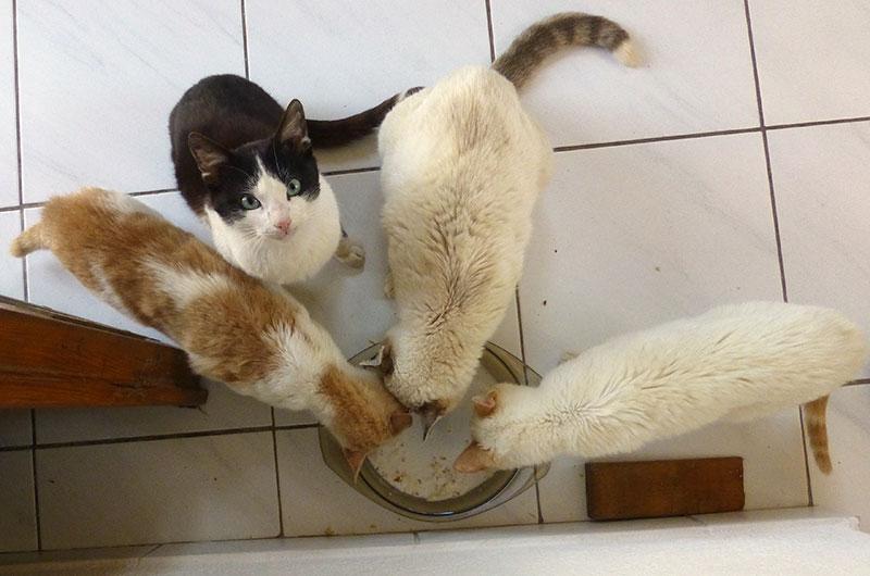 Raubtierfütterung von zwei Katzenfamilien. Links die geflechten von Thea, rechts die weiße Bande mit Mama und Prinzessin.