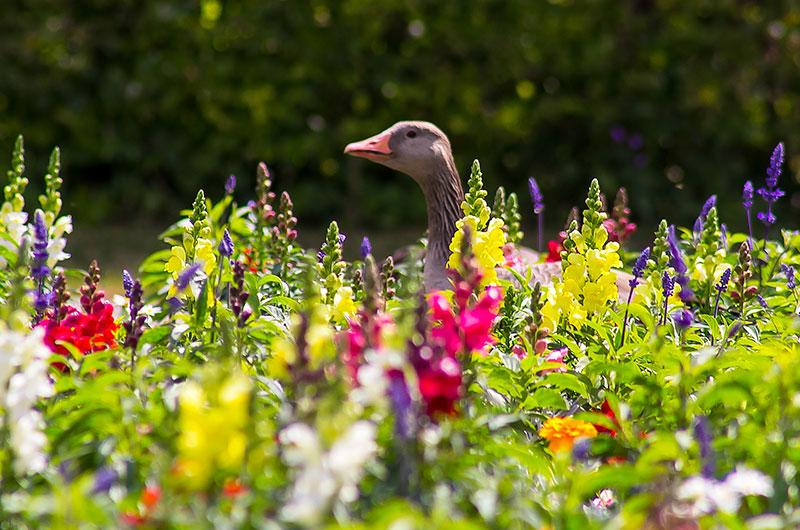Eine Graugans watschelt durch die Blumenbeete.