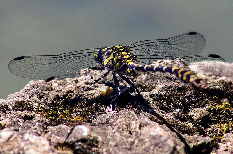 Die gelb-schwarz gefärbte Westliche Keiljungfer (Gomphus pulchellus) ist eine Libellenart und bevorzugt stehende Gewässer.