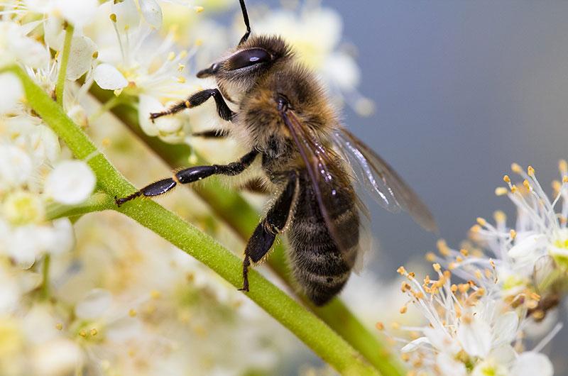 Bienen (Apiformes) sammeln Nektar.