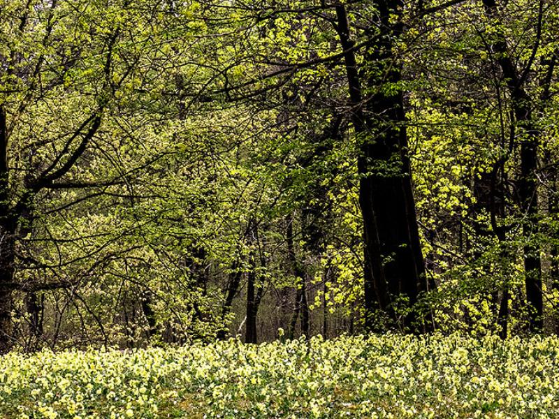 Am westlichen Ufer des Badenburger Sees können im Frühjahr Schlüsselblumen-Wiesen bewundert werden.