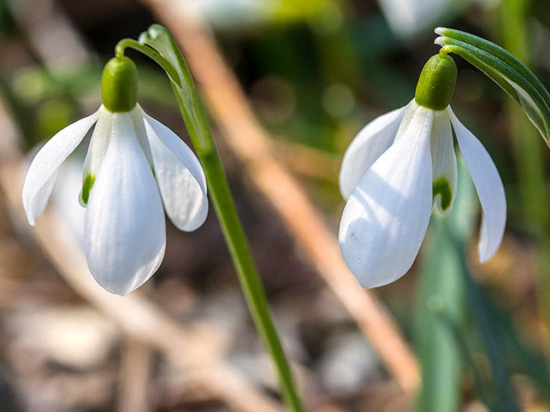 Schneeglöckchen blühen ab Februar im Park.