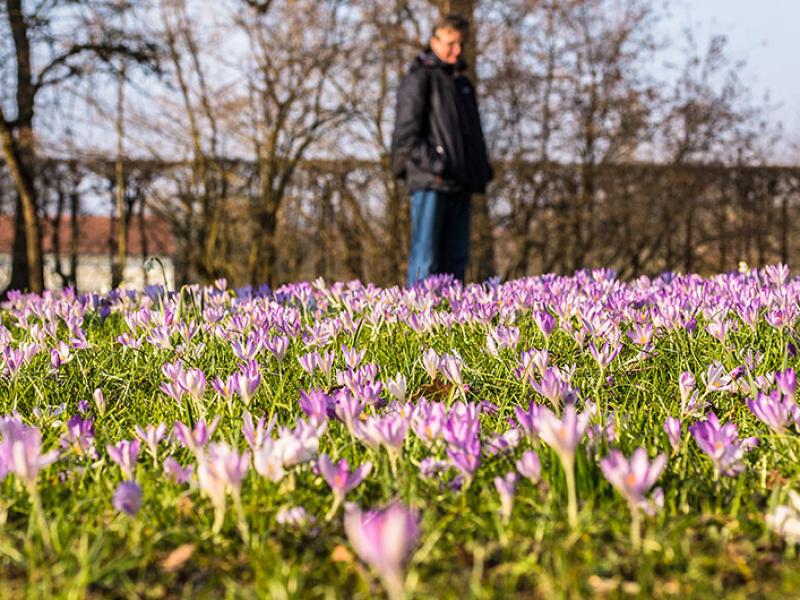 Am östlichen Ende der Gewächshäuser sind im Frühjahr Blütenteppiche mit Krokussen und Schneeglöckchen zu bewundern.