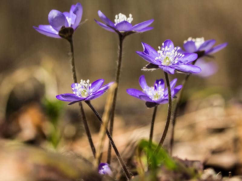 Die Leberblümchen (Anemone hepatica) gehört zu den im Frühling am frühesten blühenden Pflanzen, ab März öffnet es seine Blüten.