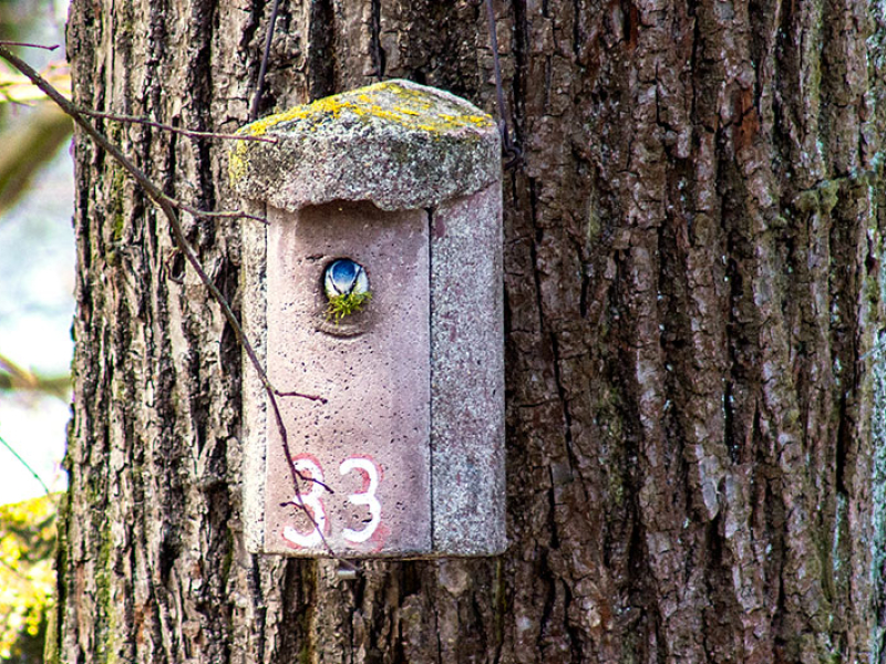 Eine Blaumeise (Cyanistes caeruleus) hat das Vogelhaus Nr. 33 bezogen und ist eifrig mit dem Nestbau geschäftigt.